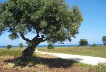 Puglia – Xylella: indennizzi fino a 15mila euro per estirpazione autonoma