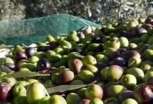 Barletta e Bisceglie – Altri 8 arresti per furto di olive. 7 quintali recuperati.