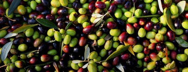 Puglia olive da tavola colorate e pericolose blitz della forestale batmagazine notizie d - Tipi di olive da tavola ...