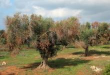 """Corato – Iniziativa contro Xylella, Sindaco Giorgino: """"Tuteliamo le nostre produzioni olivicole"""""""
