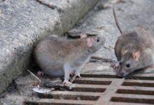 """Andria – Panico nel quartiere Europa: """"Ratti anche sulle palme e sui dehors dei bar. Ora è veramente troppo"""""""