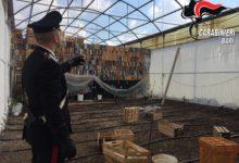 Ruvo – Strani odori al cimitero. I carabinieri scoprono essiccatore di marijuana