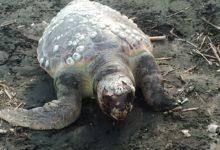 Trani – Recuperate e rimosse due tartarughe spiaggiate lungo la battigia
