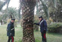"""Andria – Nascondeva droga in una """"palma-deposito"""" della Villa Comunale"""
