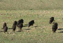 Andria – La storia si ripete: emergenza cinghiali nell'Alta Murgia.