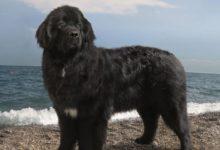 TRANI – Stamattina 17° Raduno Nazionale dei cani Terranova
