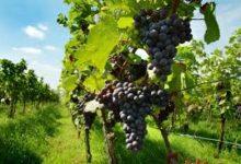 Bat – Viticoltura: Nuove Tendenze Del Settore E Opportunità di finanziamento