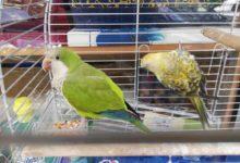 BARI –  Sequestrati esemplari di Pappagallo Monaco e Rosella detenuti illegalmente