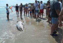 Barletta – Delfino spiaggiato sulla litoranea di Levante. Era già morto.