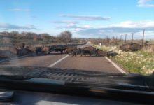 Canosa – Auto contro branco di cinghiali. 5 animali abbattuti e veicolo distrutto