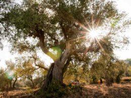Camminata tra gli olivi in Puglia: alla scoperta della cultura dell'olio