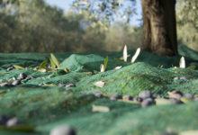 BAT – Campagna olivicola 2017/2018: chiesto controllo del territorio