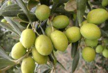 Fitofarmaci anti Xylella – Anche le aziende olivicole biologiche potranno utilizzarli