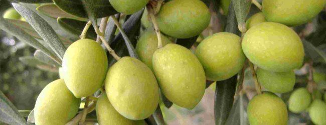Puglia –  Al via la conferenza stampa per l'evento 'Camminata tra gli olivi'