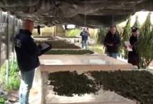 Canosa – Sequestrati 200 kg di droga. Arrestato un agricoltore barlettano. IL VIDEO