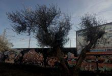 Trani – Piante d'ulivo di proprietà del Comune, approvato progetto per  produzione olio extravergine