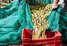 Andria – Furti di olive nelle campagne andriesi: 3 persone arrestate e 11 quintali restituiti