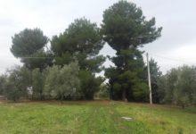 """Andria – Allarme furti di olive: """"Nella mia proprietà hanno sottratto circa 50 quintali di olive. Dov'è la guardia campestre?"""". La denuncia di un imprenditore agricolo andriese. FOTO"""