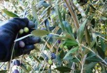 Andria – Furti di olive: denunciato 37enne rumeno