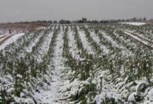 Andria – Gelata di fine febbraio: ecco come segnalare i danni