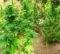 Trani – Scoperta piantagione di marijuana con 250 piante