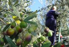 Andria – Campagna olearia, Fratelli d'Italia: eccessiva e incontrollata importazione di olio dall'estero, in particolare Spagna e Tunisia