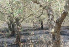 Barletta – Crisi del comparto olivicolo presa di posizione del Comune