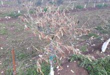 BARI – Gelate, Coldiretti Puglia: stamattina stop del mondo olivicolo