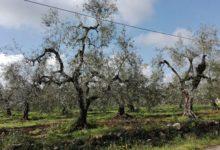 Coldiretti Bari/BAT, strage di ulivi per maltempo a febbraio. Sale conta danni