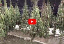 Canosa di Puglia – Arrestati altri due responsabili della maxi piantagione di marijuana. VIDEO