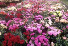 Andria – Festa della Mamma: le piante del Calcit per le mamme andriesi