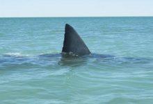 Puglia – Allarme nel Salento, squali avvistati a 20 metri dalla spiaggia. Il VIDEO.