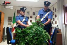 Andria – Carabinieri: due arresti per coltivazione di marijuana