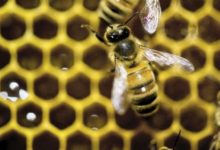 Trinitapoli – Assalito da sciame api, muore un 45enne romeno