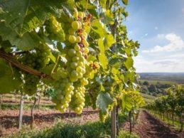 Vigna & Olivo 2020 – Eventi ad Andria e Barletta