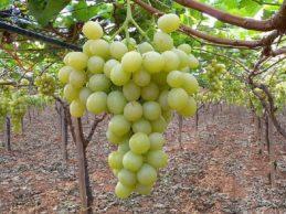 Andria – Il mercato delle uve da vino è in crisi