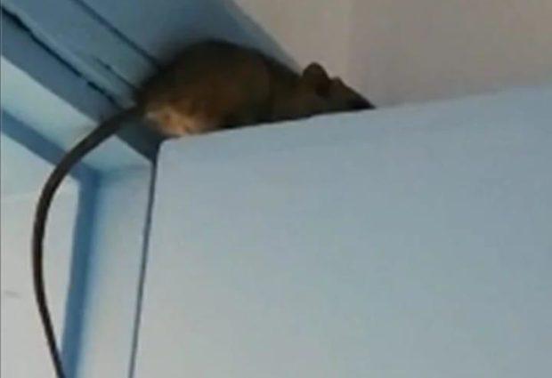 Bisceglie – Topo su porta ospedale, indagine Asl. VIDEO