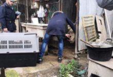 San Ferdinando di Puglia – Cuccioli denutriti e feriti, sequestrato  allevamento