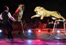 Puglia – Domatore sbranato da 4 tigri al Circo Orfei. La tragedia durante le prove