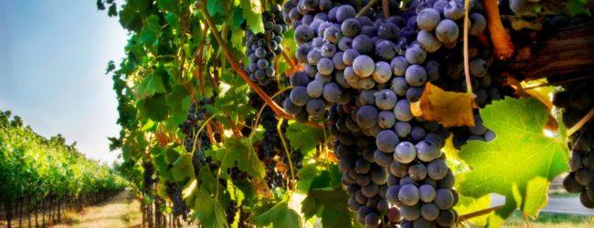 Vendemmia 2019, cresce del 3% la produzione di uva da vino in Puglia