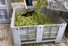 Andria – La strana crisi dei prezzi delle nostre olive