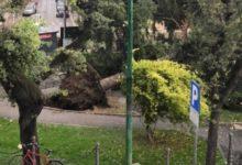 Andria – Forti raffiche di vento in città, abbattuto albero secolare