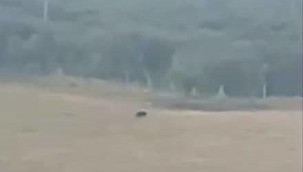San Severo – VIDEO. Avvistamento pantera nera: attivati servizi di rinforzo e ricerche