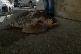 Tartaruga marina recuperata in uliveto a Barletta, domenica prossima tornerà in mare aperto. FOTO