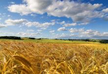 Confagricoltura Puglia: grano, per gelate e siccità stimato calo di produzione del 40%